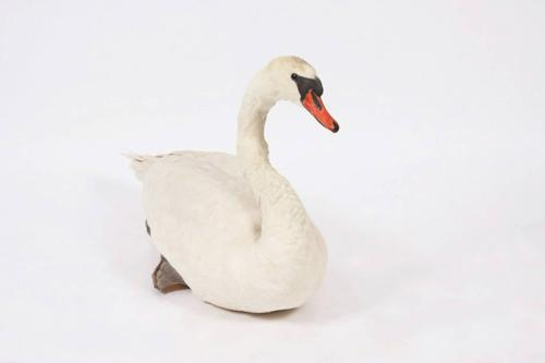 Taxidermy Swan