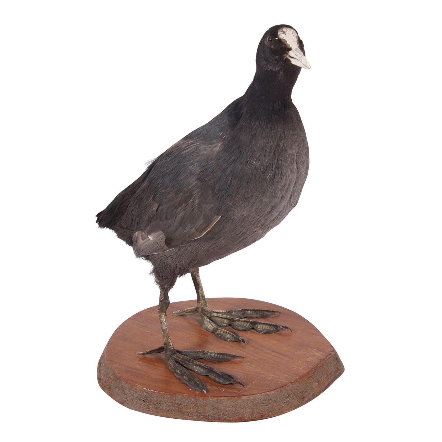 Taxidermy Coot