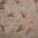 Shark Tooth Fossil in Matrix - picture 3