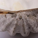 Giant Clam Shell - picture 4