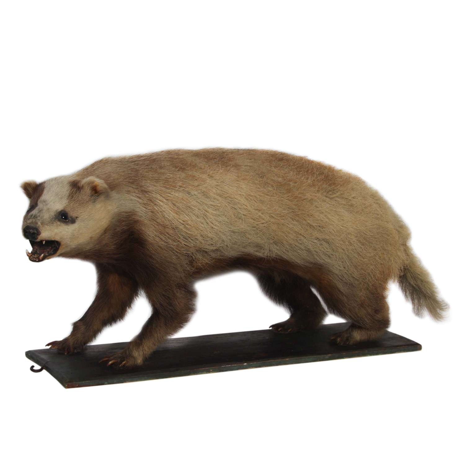 Early 20th Century Taxidermy Badger Mounted on Wood